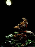 Atlas Moth  with Chrysalis  Indonesia