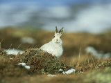 Mountain (Blue) Hare  Monadhliath Mtns  Scotland