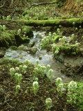 White Butterbur  Inverness-Shire  Scotland
