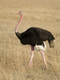 Ostrich  Male in Breeding Plumage  Kenya