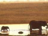 African Elephant  Crossing Chobe River  Botswana