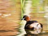 Little Grebe  Adult on Water  UK