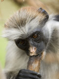 Zanzibar Red Colobus  Adult Eating Charcoal for Minerals  Zanzibar