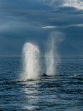 Humpback Whales  Feeding at Surface  AK  USA