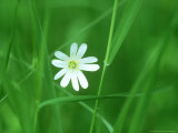 Greater Stitchwort  Ross-Shire  Scotland