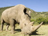 White Rhino  Breeding Animal for Introduction Eleswhere in Kenya  Kenya