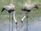 Wattled Crane  Feeding in Shallow Pools Formed by Khwai River  Botswana