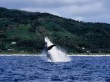 Humpback Whale  Breaching  Polynesia