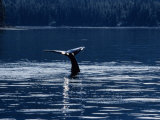 Humpback Whales  Raising Fluke at Surface  AK  USA