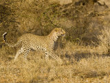 Leopard  Young Female Ears Back Stalking  Kenya