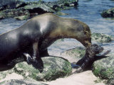 Galapagos Sea Lion  with Pup  Galapagos Islands