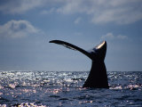 Southern Right Whale  Fluke  S Africa