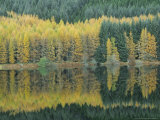 Autumn Larch Trees Reflected in Loch Meig  Strathconon