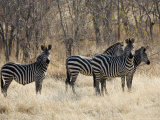 Crawshays Zebra  Small Group in Bush  Tanzania