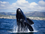 Southern Right Whale  Breaching  S Africa