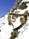 Japanese Macaques or Snow Monkeys  Honshu  Japan