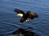 Bald Eagle  Hunting  USA