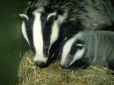 Badger  and Cub  England