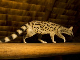 Small-Spotted Genet  Walking on Roof Beam in Lodge  Africa