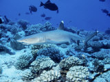 Whitetip Reef Shark  Swimming  Polynesia