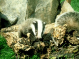 Badger  Young  UK