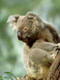 Koala  New South Wales  Australia