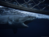 Great White Shark  Swimming by Cage  S Australia