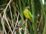 Peach-Fronted Parakeet  Parakeet Perched on Leafy Branch  Brazil