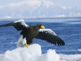 Stellars Sea Eagle  Wings Open About to Take-Off  Japan