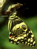 Citrus Swallowtail  New  CKenya