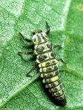 Seven Spot Ladybird  Larva Infamous Aphid Feeder