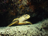 Hawksbill Turtle  Underwater  Maldives