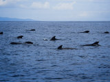 Short-Finned Pilot Whale  Group  Port