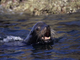 Californian Sea Lion  Threatening  Baja California