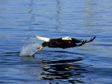 Bald Eagle  Feb  USA