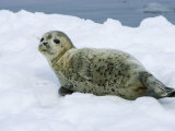 Harbor Seal  Young Seal Lying in Snow  Japan