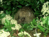 European Hedgehog  England