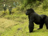 Mountain Gorilla  Male Standing in Grass with Two Guides in Background  Africa