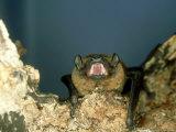 Noctule Bat  UK