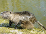 Coypu or Nutria  Female with Young Suckling  France