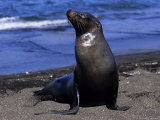 Californian Sea Lion  Adult