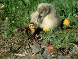 Mute Swan  Branta Canadensis  England