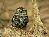 Little Owl  Hampshire