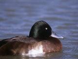 Baers Pochard  Male  Endangered