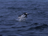 South African Fur Seal  Attacked by Shark