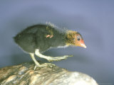 Moorhen  Young  UK