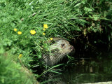 European Otter  Suffolk
