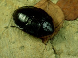 Cuban Burrowing Roach  Female