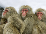 Japanese Macaques or Snow Monkeys  Three Adult Monkeys Huddled Together with Infant  Japan