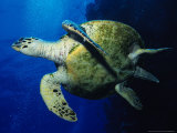 Hawksbill Turtle  Swimming  Red Sea